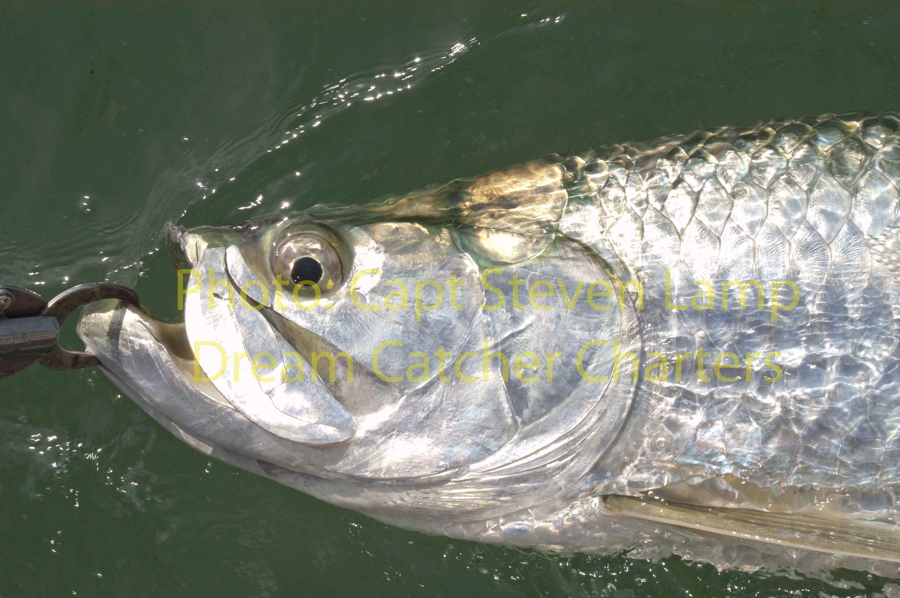 Tarpon fishing key west to chum or not to chum key west for Key west tarpon fishing