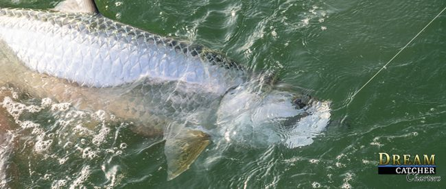 Tarpon Along Side the boat hooked up