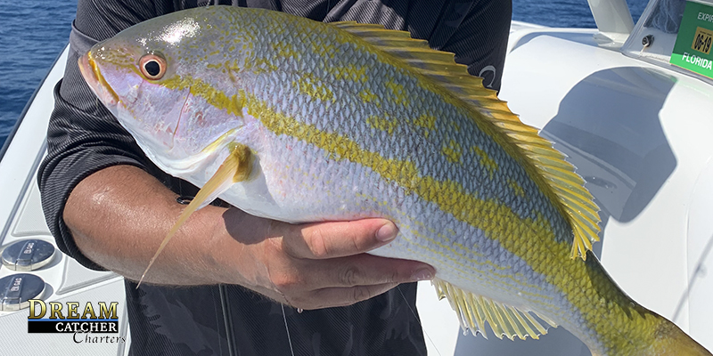 Key West yellowtail snappers