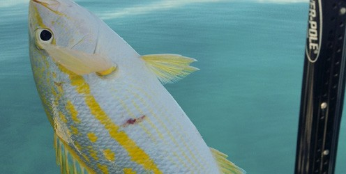 Yellowtail Snapper On Plug