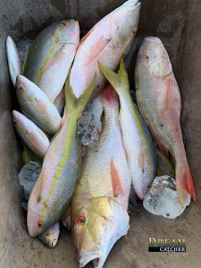 Yellowtail snappers, mutton snappers, big snappers in a box of snappers