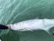 tarpon fishing, release, tarpon in water