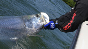 tarpon held by the jaw released in Key West