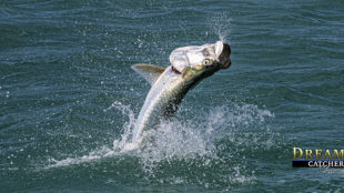 tarpon jumping after being hooked up