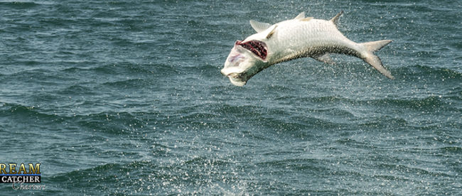 tarpon jumping in the air