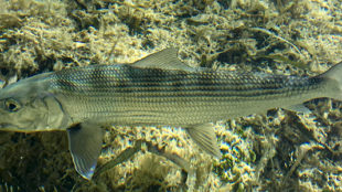bonefish on the grass flats Key West