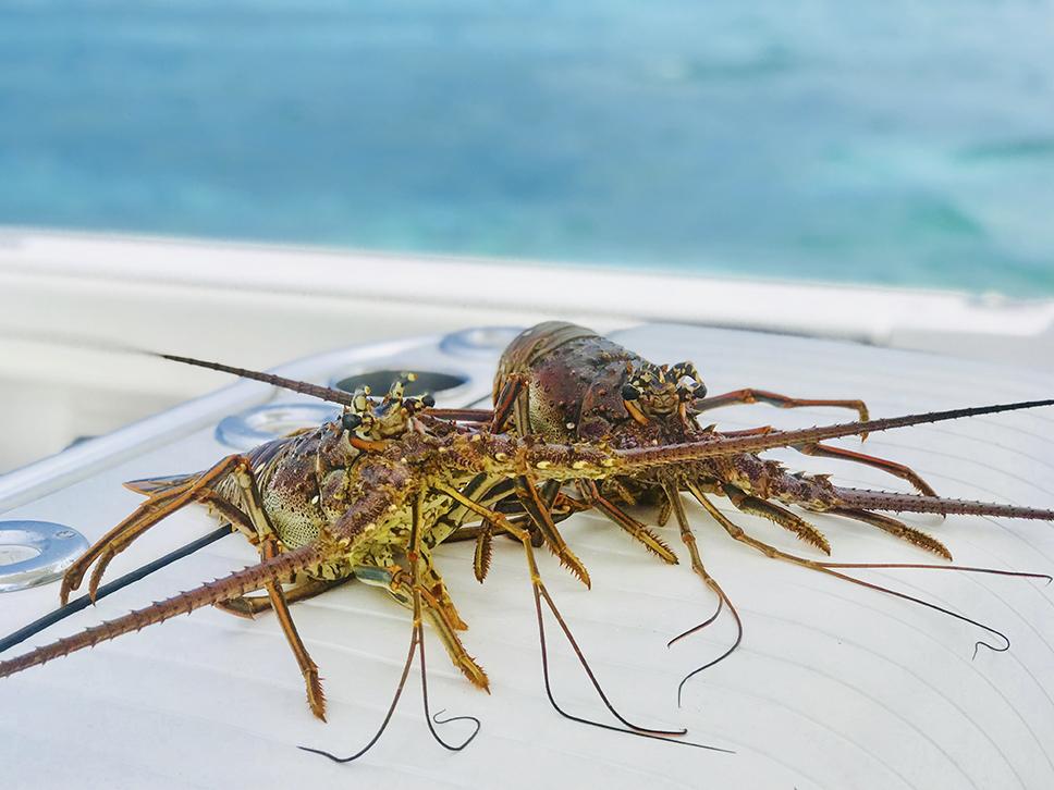 two Florida Keys lobsters