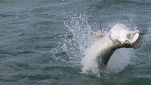 tarpon jumping when hooked