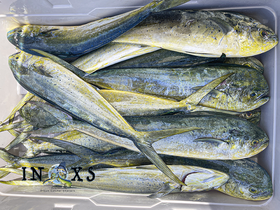 Box of Mahi Mahi Caught on Thursday  on board the INXS out of Key West.